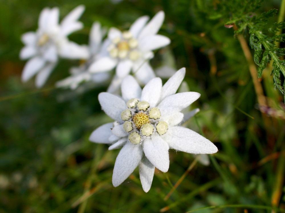 Floarea-de-colt, Diamantul Muntilor Carpati.